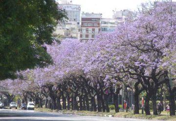 El Jacarandá florece en la primavera de Buenos Aires