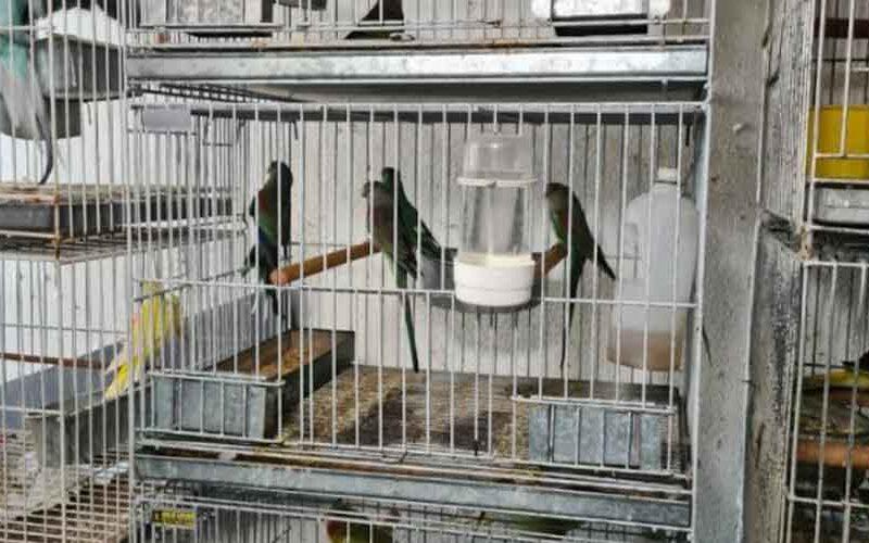 Se recuperaron más de 300 aves de un criadero ilegal